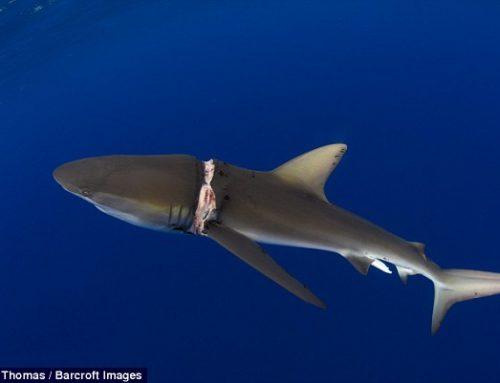 i rifiuti uccidono – squali