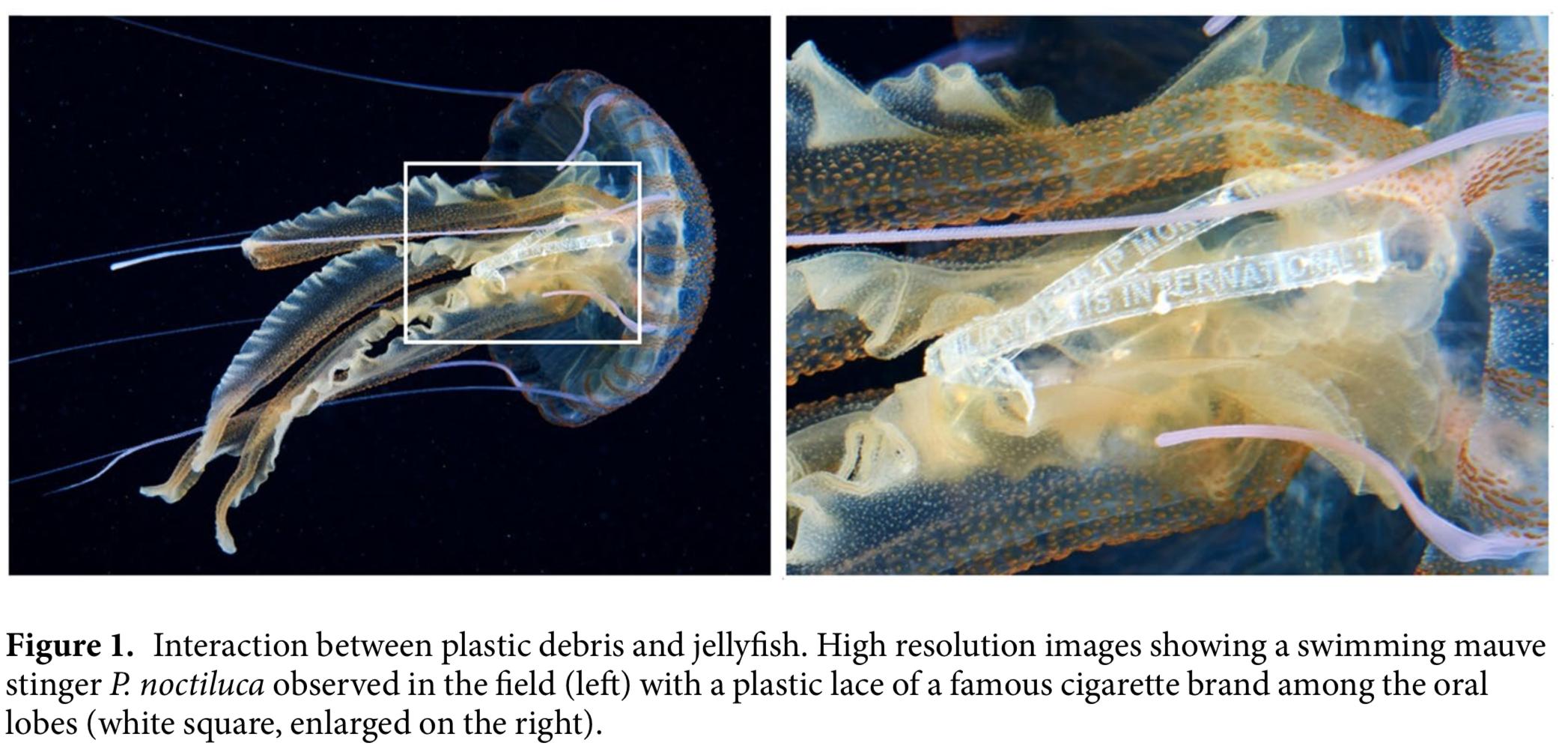 anche le meduse mangiano la plastica